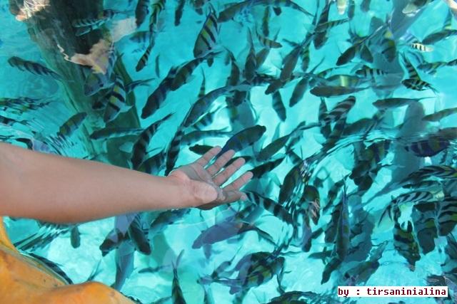 Pemandangan Indah Pemberian Makan Ikan Arborek